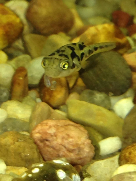 Indian dwarf puffers have a maximum size of just under one inch