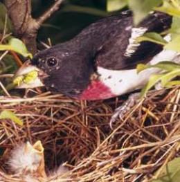 Rose-breasted Grosbeak (Pheucticus ludovicianus) feeding young in nest