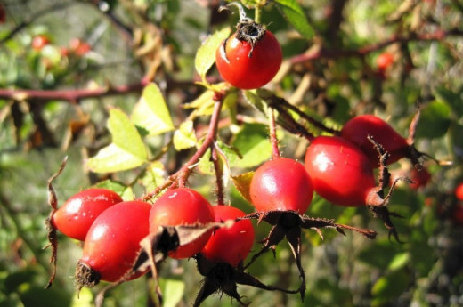 Rosehips on a bush
