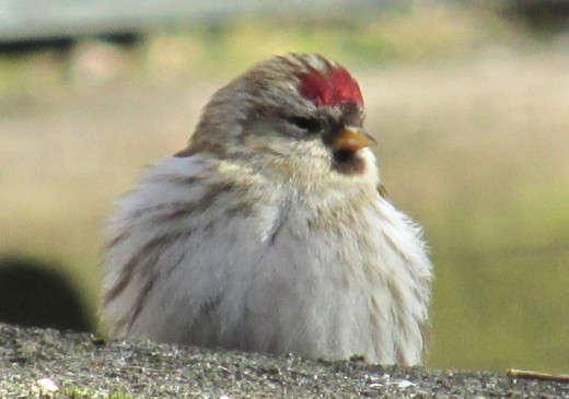 Female Common Redpoll fluffed up against the cold air.