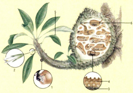 Details on the several aspects of the ants lif inside Myrmecodia plants.