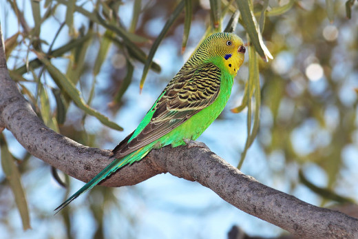 Among the familiar songbirds, would be the descendants of man's pets, such as budgerigars and parrots