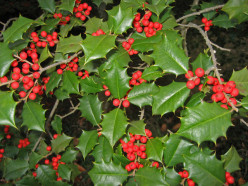 Why are there no Holly berries on my Holly bushes this year?