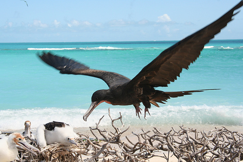 Magnificent Frigatebirds are a common sight in Los Roques, and nest in the many mangroves