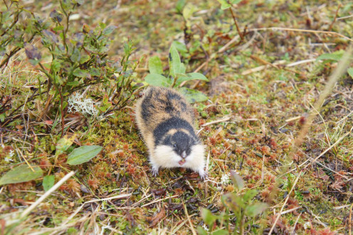 A Norway Lemming.