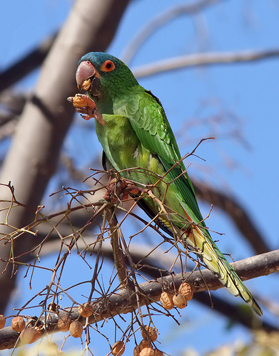 Blue-crowned Parakeet, one of the main prizes at Restinga