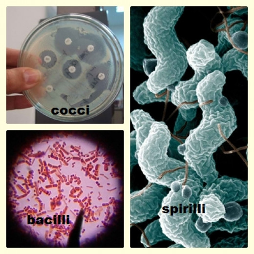 Kinds of bacteria