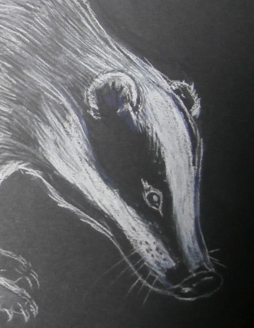 The European badger has a stunning face, with defined stripes and a curvy snout. The eyes are small in comparison to the rest of the face, and are closer to the nose than they are the ears.