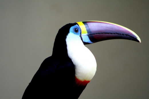 """Red-billed"" White-throated Toucan"