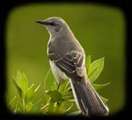 The versatile and creative Mockingbird.