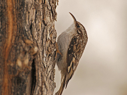 Brown creepers have been seen nesting in Pokagon State Park