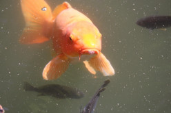 The Most Common Goldfish Illnesses