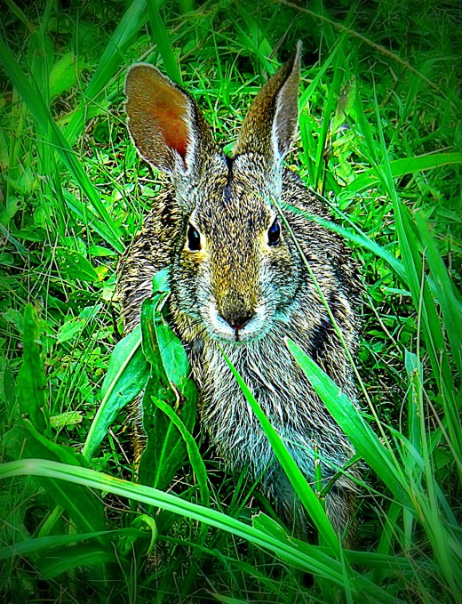 A curious rabbit posing for the camera at the Lacassine Wildlife Refuge.