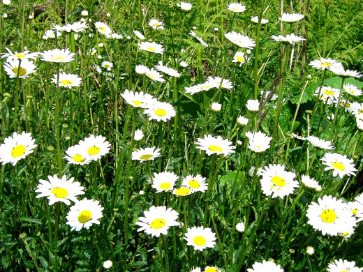 The Ox-eye, or Moon daisy is a taller relative of the common daisy and is also sometimes referred to as the Marguerite.