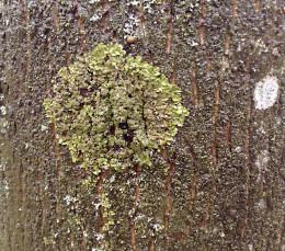 Lichen growing on a tree trunk