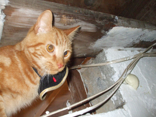 My little Cincinnatus loves to explore the basement which is in a high state of demolition and clean-up process. Here, he is perched on a beam 6 inches from the ceiling. I'm sure he is thinking: Nya-nya!  You can't catch me!