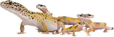Aging of a Leopard gecko