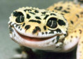 Care and Keeping of Leopard Geckos