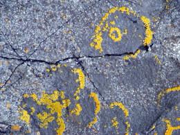 A yellow crustose lichen on rock