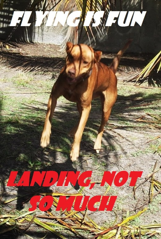 """My dog playing """"catch the coconut leaf."""" Those rough landings are going to catch up with her some day."""