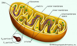 Mitochondrial diseases: Exploring new treatment avenues