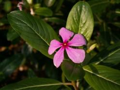 Indian Medicinal Plants - Nithya Kalyani