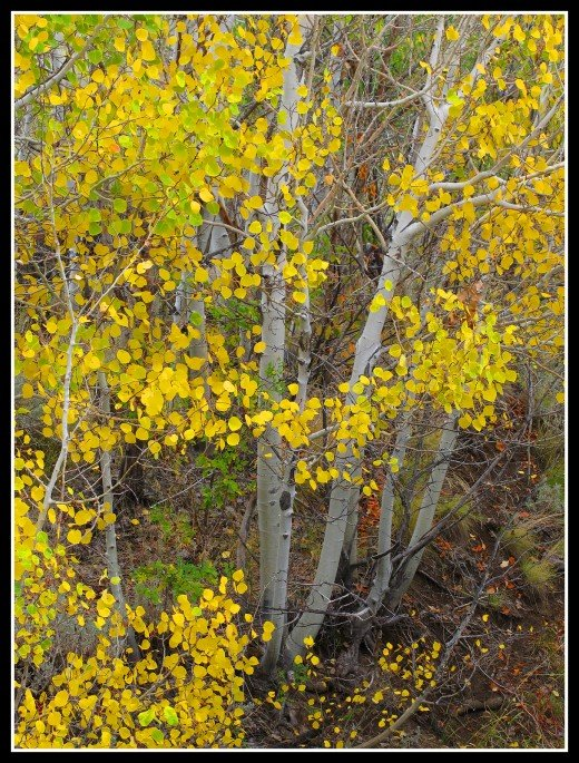 More autumn aspens, these ones along the Lower Whites Creek trail.