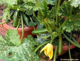 Keep zucchini picked to encourage production.