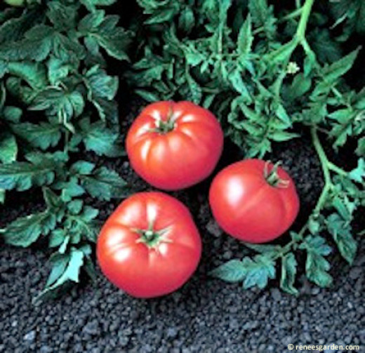 All the 5 ounce tomatoes on this new variety will surprise you.