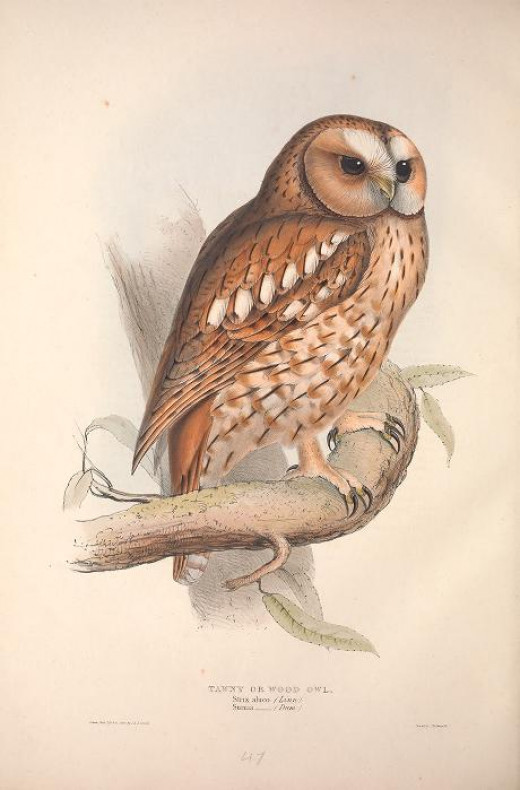 Gould--Birds of Europe {1837}