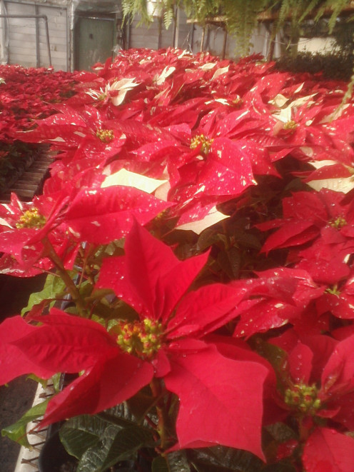 Pictures taken by Gardener Den. Variegated Poinsettias growing in a greenhouse.