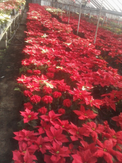 Group of Poinsettias growing in a greenhouse many different varieties growing together; reds, bi-color and double flowering .