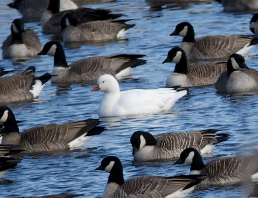 Ross's Goose Amid Cackling Geese