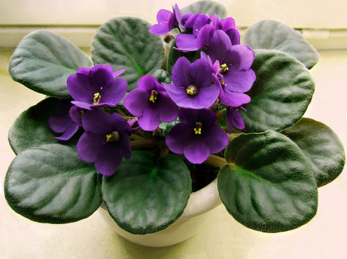 Dark Blue African Violet which is indoors growing under light or in a north window. That is why this violet looks so good.