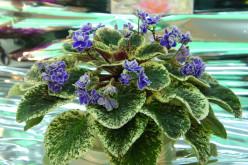 Varigated African Violet with blue blooms.