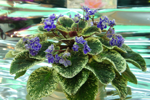 Varigated African Violet with blue blooms.