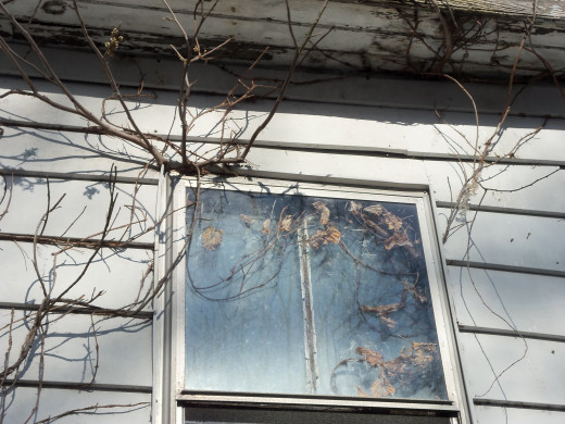 The cold makes the sap of the vines seek shelter in the roots nourished beneath the house.