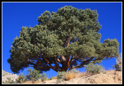 Single-leaf pinyon pine