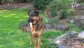 Top 10 German Names for your German Shepherd Dog