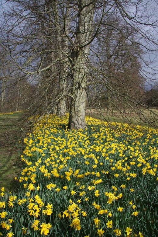 A carpet of yellow daffodils in Nowton Park, UK.