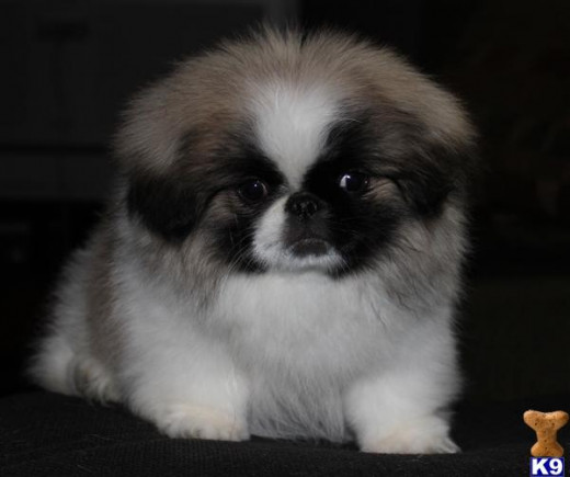 Adorable Peke puppy