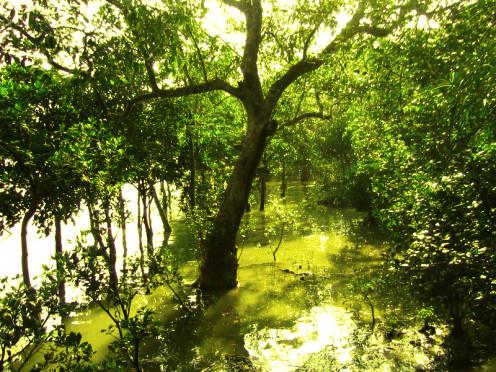 Sundari trees  (Heritiera littoralis)