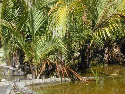 Golpata (Nypa fruticans)