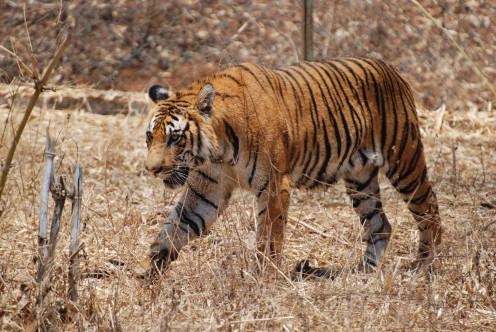 Royal Bengal Tiger (Panthera tigris tigris)