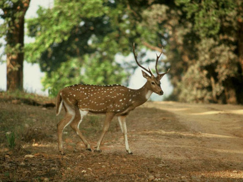 Chital deers (Axis axis)