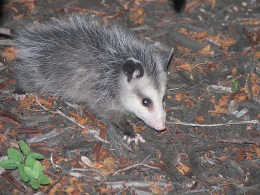 As creepy as he might seem, the possum is a master at outwitting his predators.