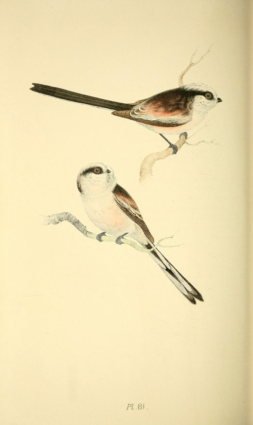 Meyer-Coloured Illustrations of British Birds