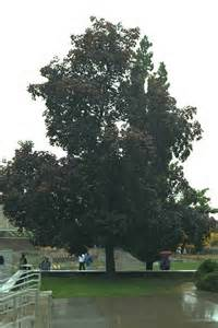 Black Maple