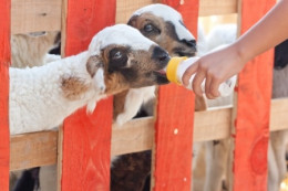 Always use CLEAN bottles when feeding your goat. Dirty bottles can cause problems such as diarrhea!