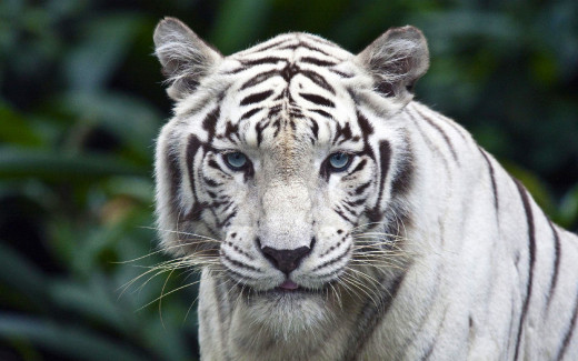 A Snapshot Of The White Tiger.